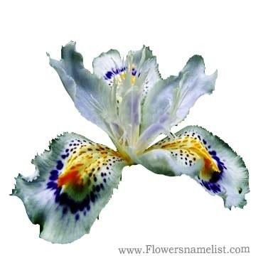 Iris White Orchid japanies