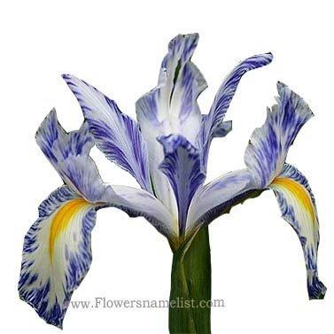 Iris xiphium 'Delft Blue