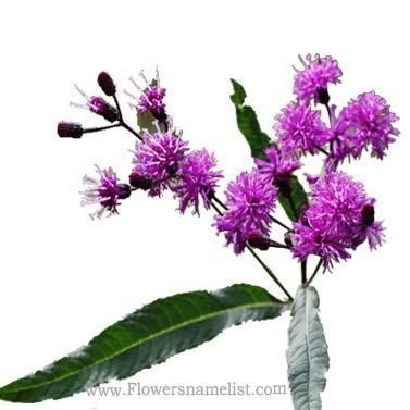 Iron weed flower