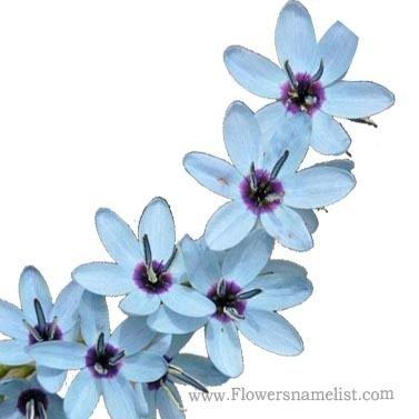 Ixia viridiflora
