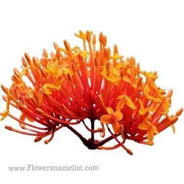 Ixora Singaporensis Aurea