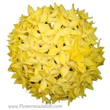 Ixora coccinea Yellow Dubai