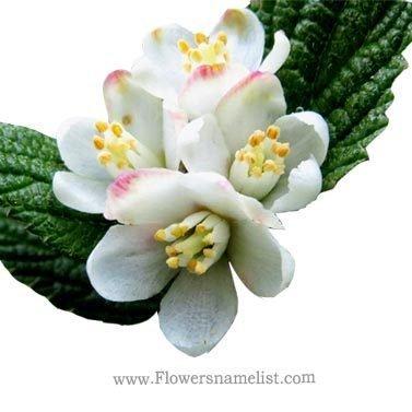 Jamesia americana MWax Flower