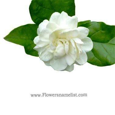 Jasmine Thai flower