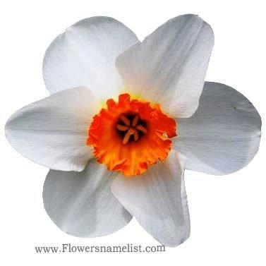 Jonquils Orange And White