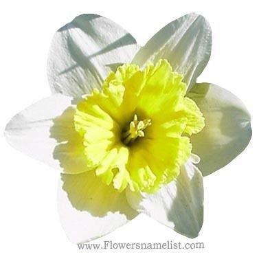 Jonquils yellow And White