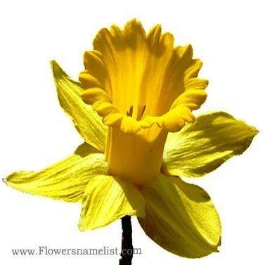 Jonquils yellow