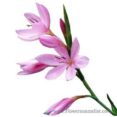 Kaffir Lily Pink Schizostylis coccinea