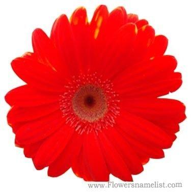Kaffir Lily red gerbera daisy flower