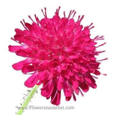 Knautia macedonica Widow flower