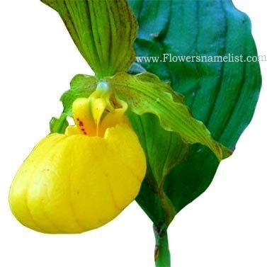 Lady Slipper Yellow