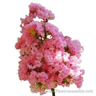 Lagerstroemia Pale Pink