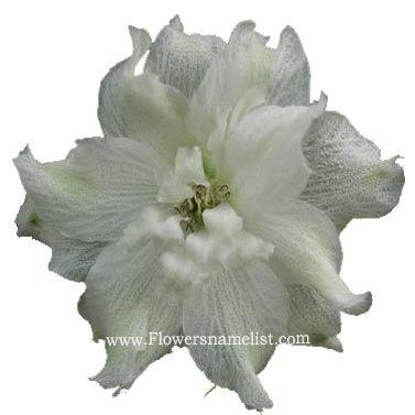 Larkspur white flower