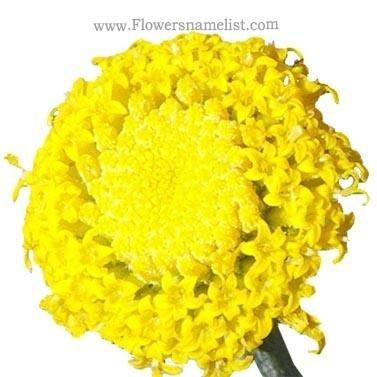 Lavendar Cotton flower