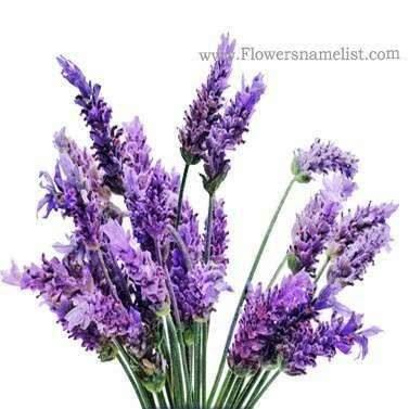 Lavender Purple
