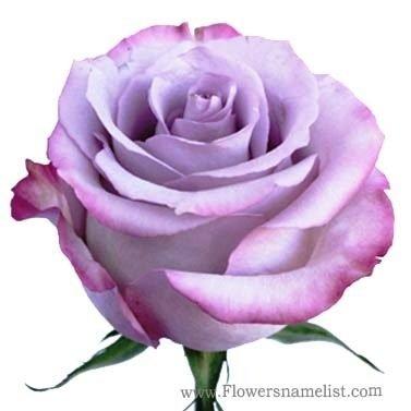 Lavender Rose Purple Haze