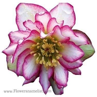Lenten Rose Hybrid