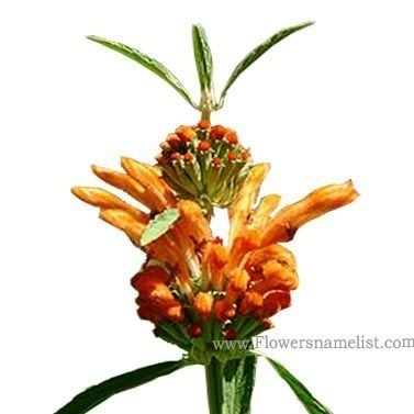 Leonotis leonurus flower