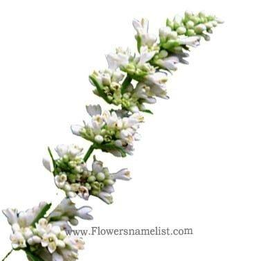Ligustrum sinense flowers