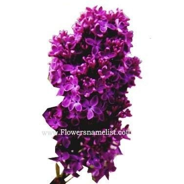 Lilac single dark purple