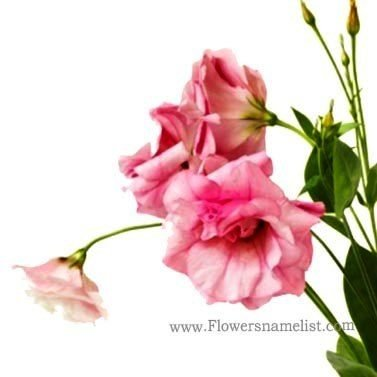 Lisianthus pink