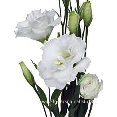 Lisianthus white
