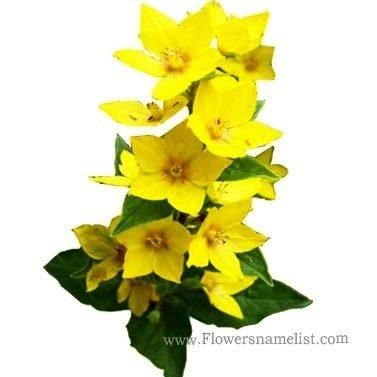Loosestrife Yellow