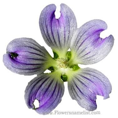 Malva australiana flower