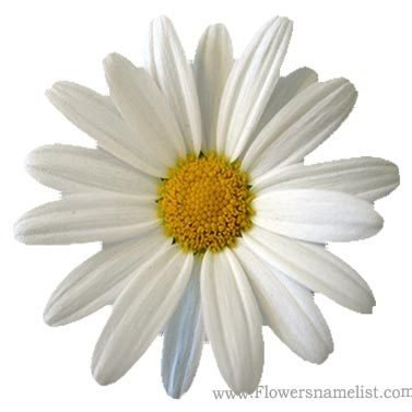 Marguerite Daisy white