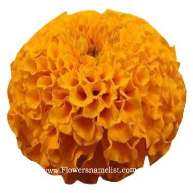 Marigold Yellow African