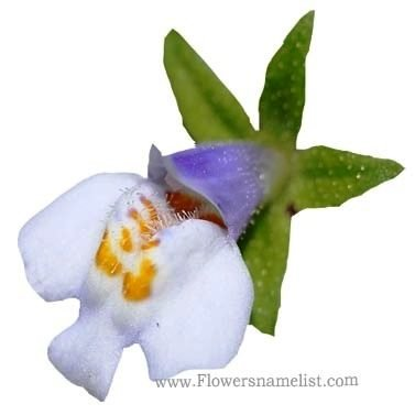 Mazus pumilus flower