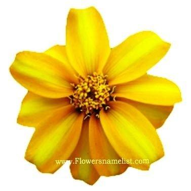 Mexican mint marigold