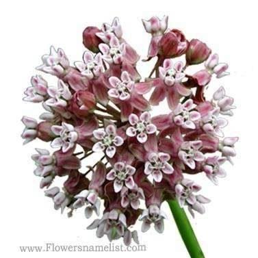 Milkweed Common