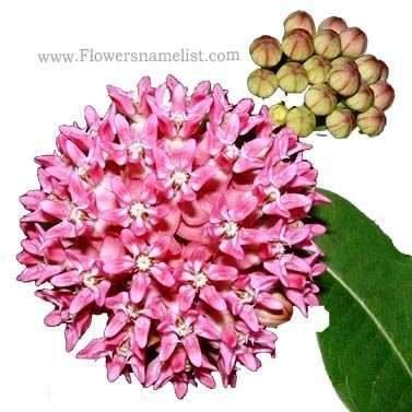 Milkweed pink Common
