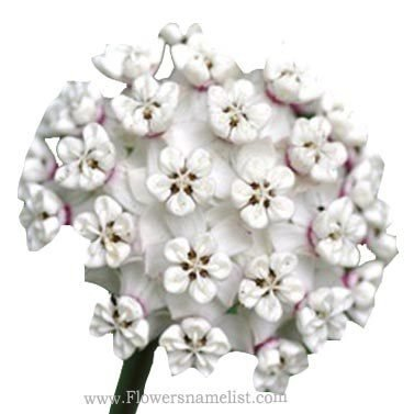 Milkweed white