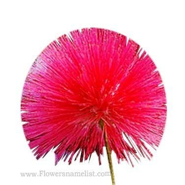 Mimosa red flower
