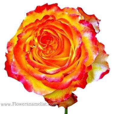 Mom's 'Tequila Sunrise' roses
