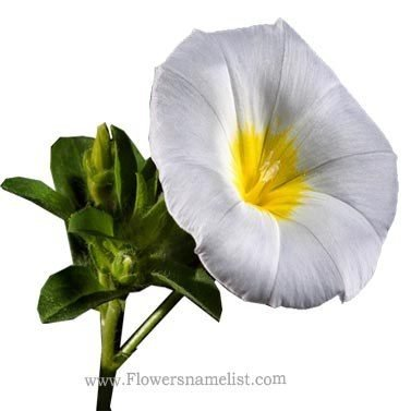 Morning Glory White