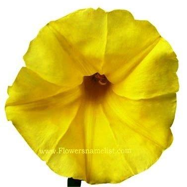 Morning Glory yellow