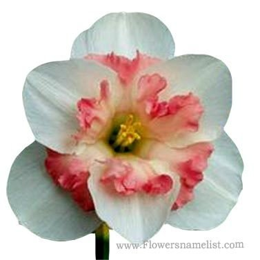 Narcissus Pink