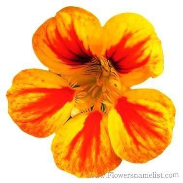 Nasturtium Yellow