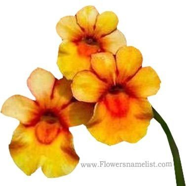 Nemesia Orange Prince