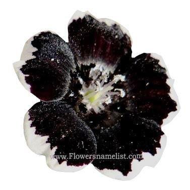 Nemophila Penny Black