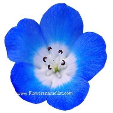 Nemophila insignis 'Insignis Blue