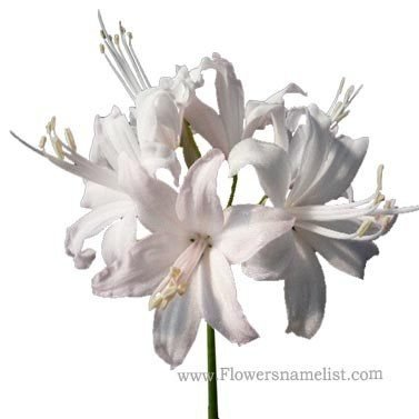 Nerine bowdenii white