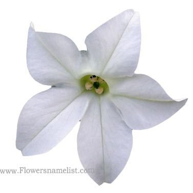 Nicotiana alata 'White