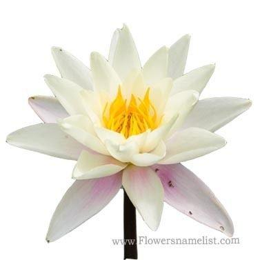 Nymphaea alba Flower
