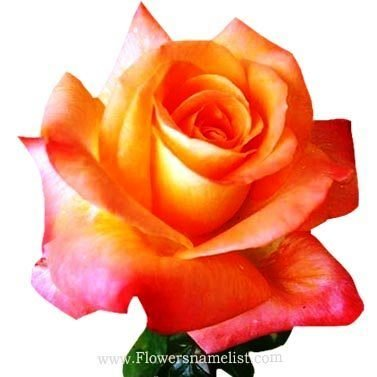 Octoberfest Rose