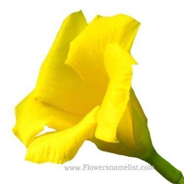 Oleander yellow