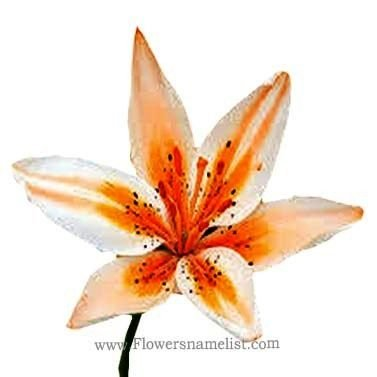 Orange Electric ori. lilly